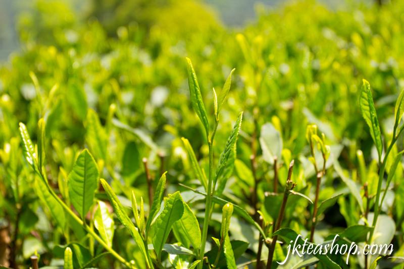 longjing tea garden