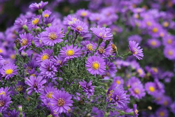 Autumn Wild-growing Flower Purple Chrysanthemum Tea