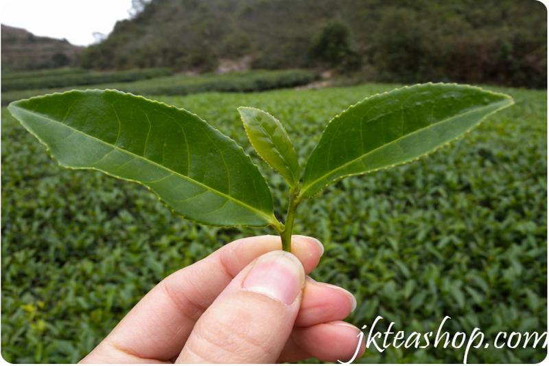 tieguanyin tea 2