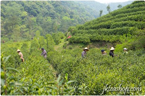 tea garden of Anji Bai Cha