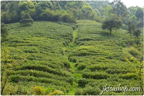 Tea Mountain of Anji Bai Cha