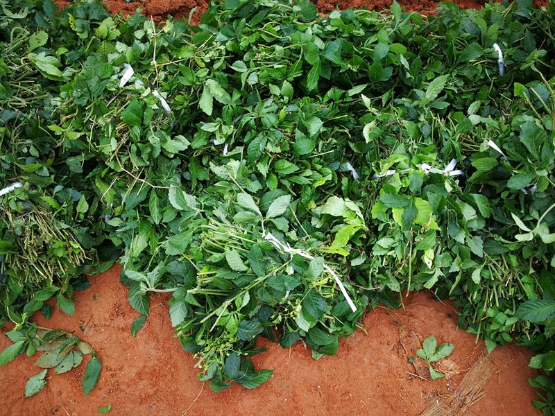 jiaogulan tea seed