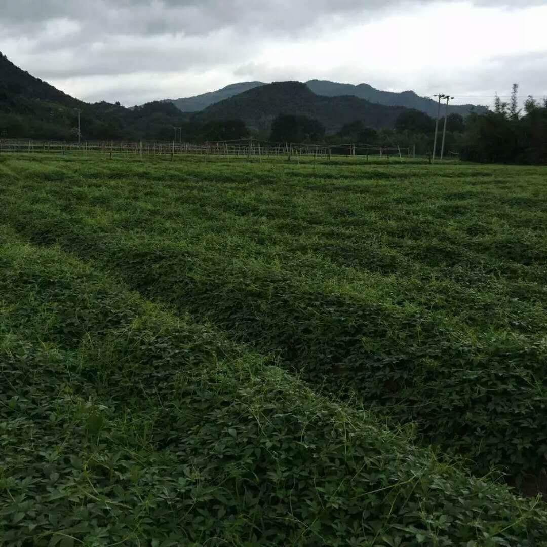 jiaogulan tea garden