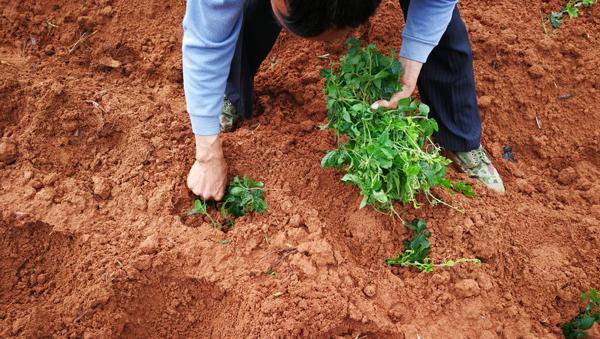 jiaogulan planted 3