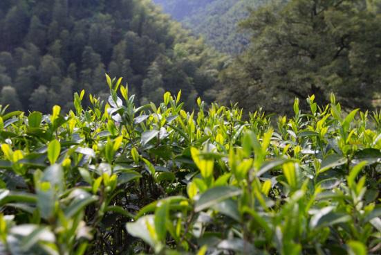 Lapsang Souchong Bohea Tea Plant