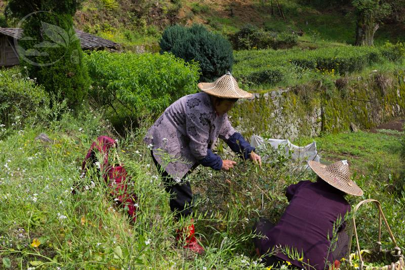 Lapsang Souchong Tea Making Process